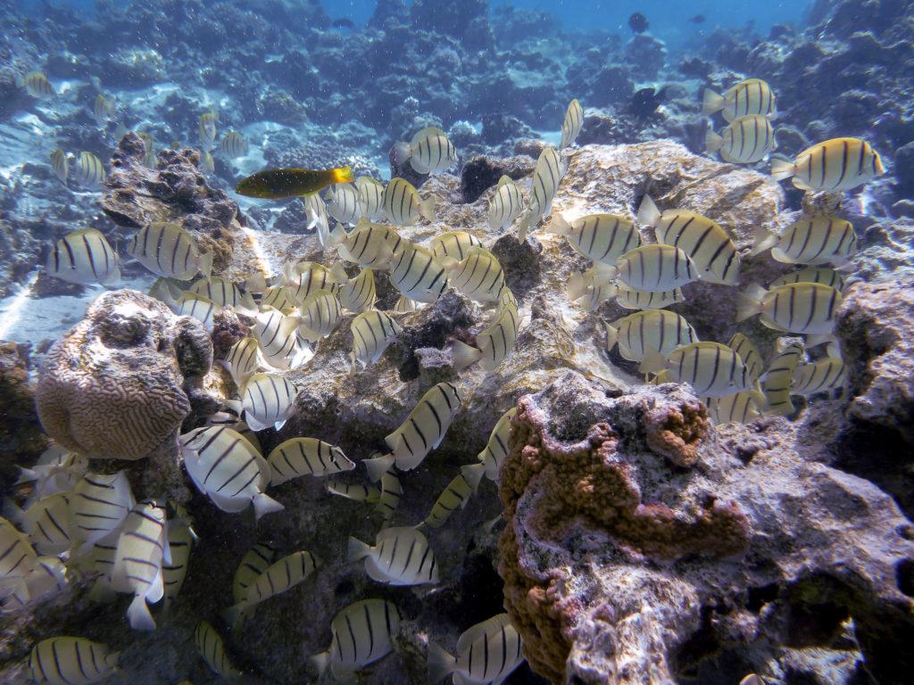 aitutaki fish underwater